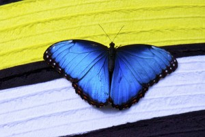 papillon butterfly blue