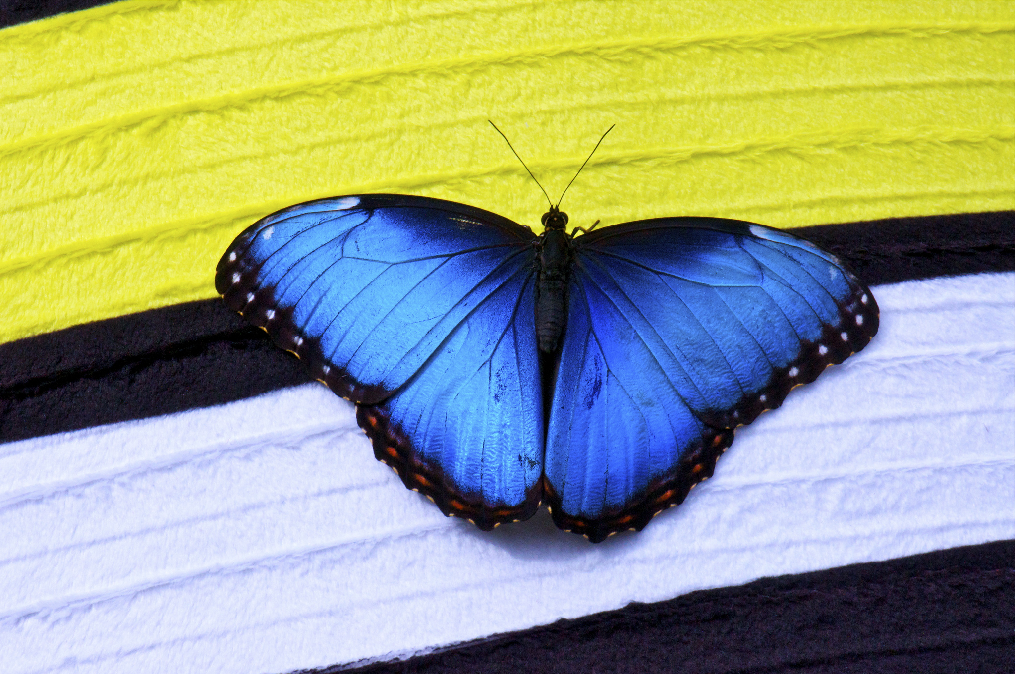 papillon butterfly blue
