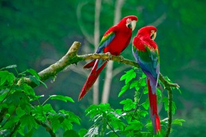 parrots lovely couple