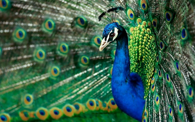 peacock wallpaper beautiful