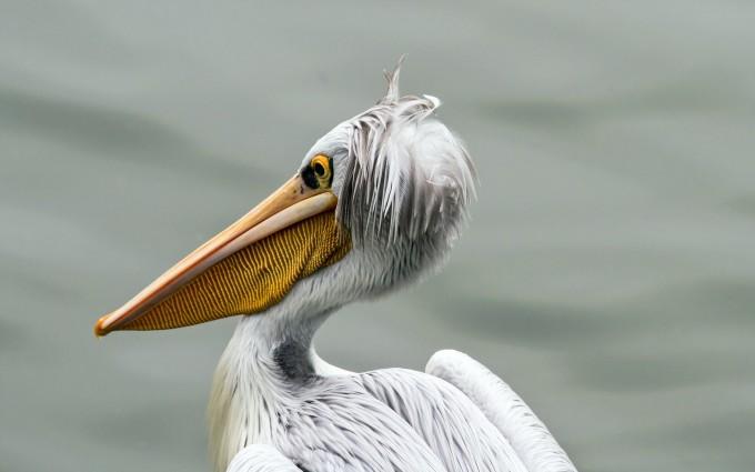 pelican bird funny