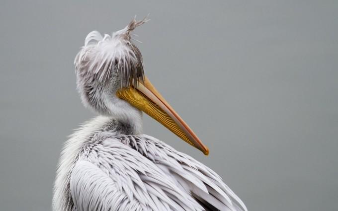 pelican bird pictures