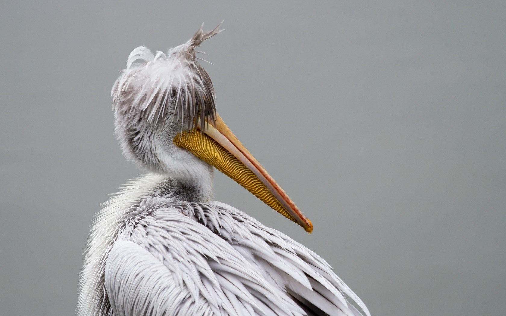 pelican bird pictures