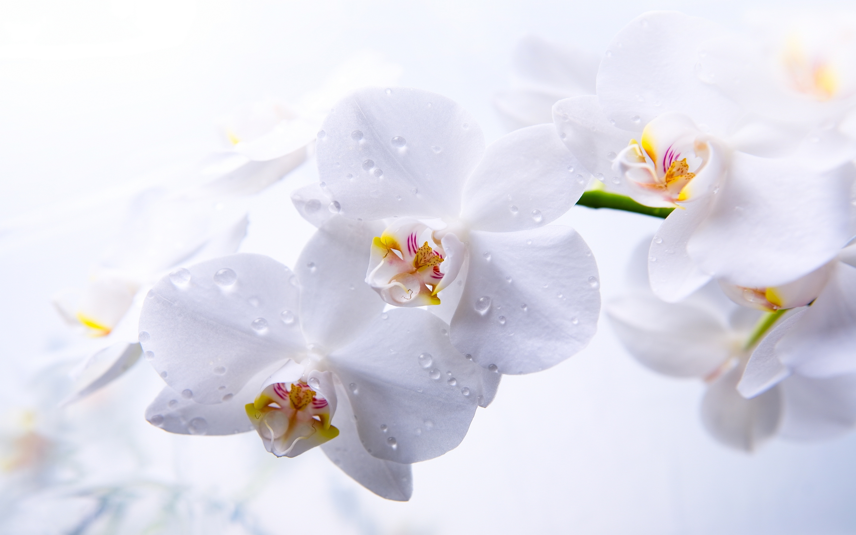 phalaenopsis orchids white
