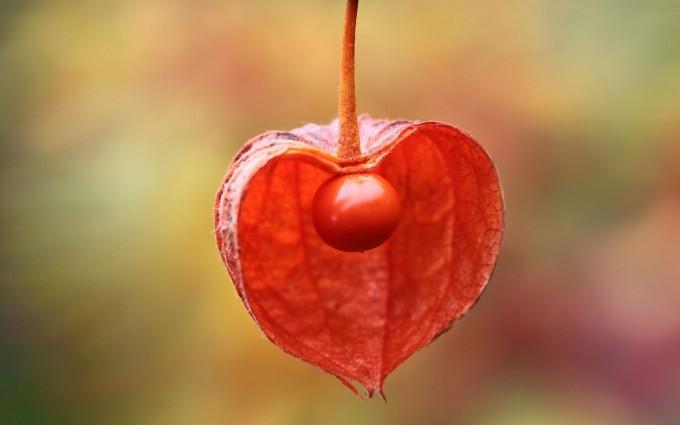physalis peruviana cape gooseberry