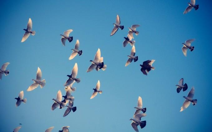 pigeons flywing