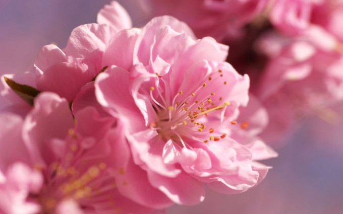 pink blossoms images