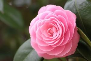 pink camellia hd