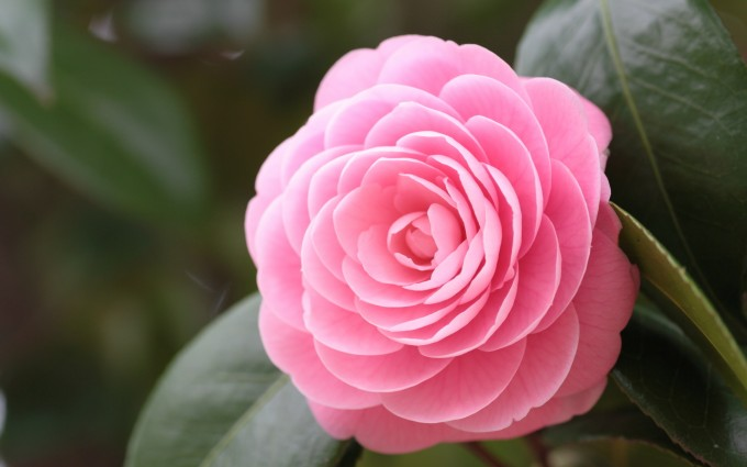 pink camellia hd