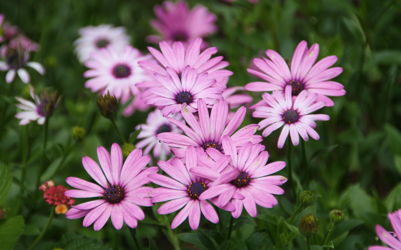 pink daisies hd wallpaper