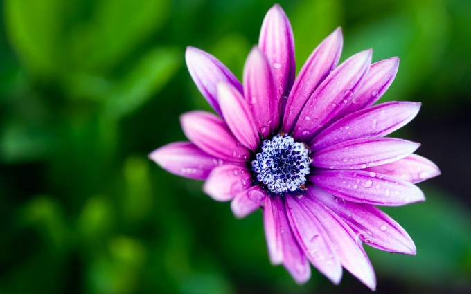 pink daisy image