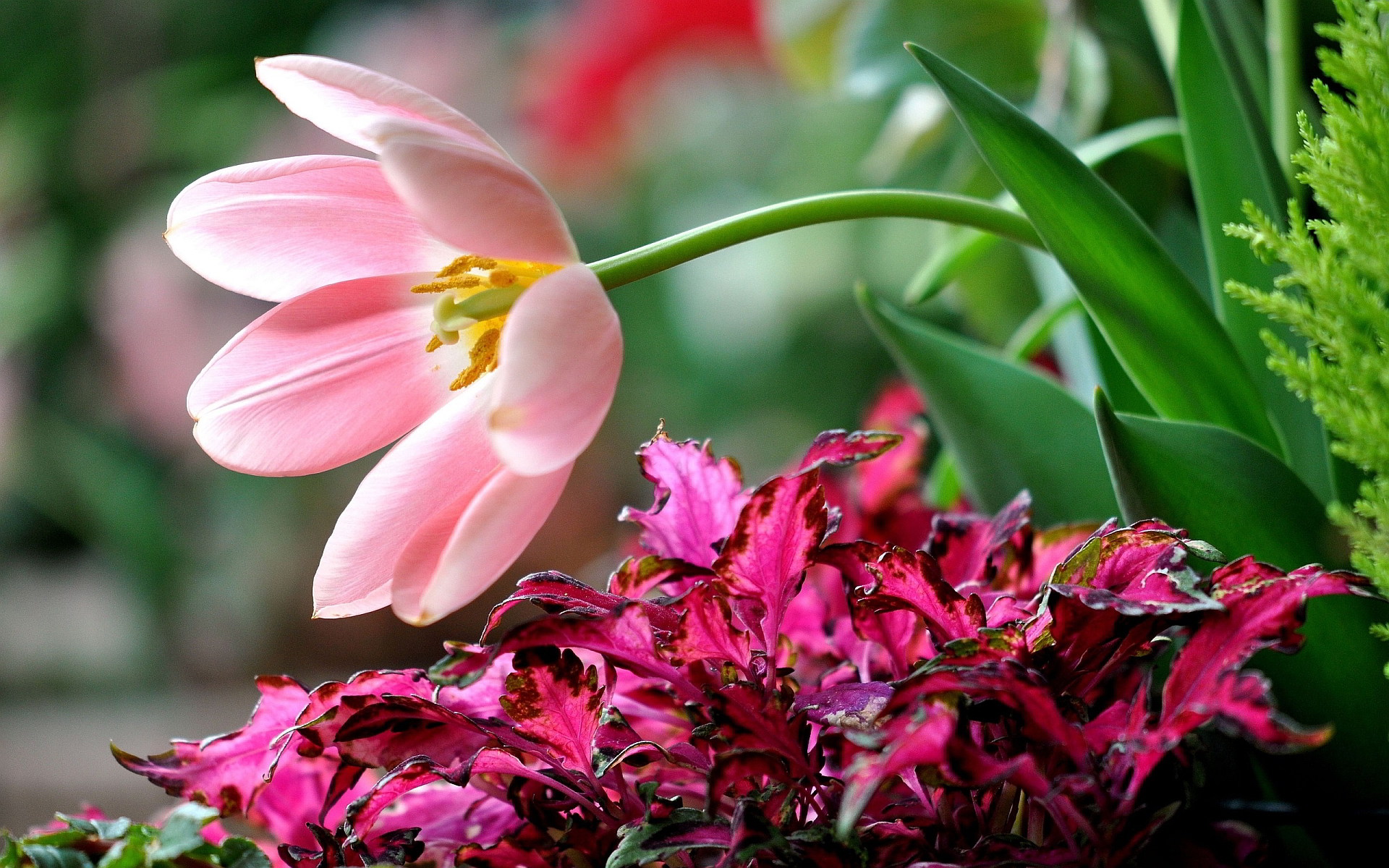 Pink flower background hd desktop wallpapers 4k hd - Red flower desktop wallpaper ...