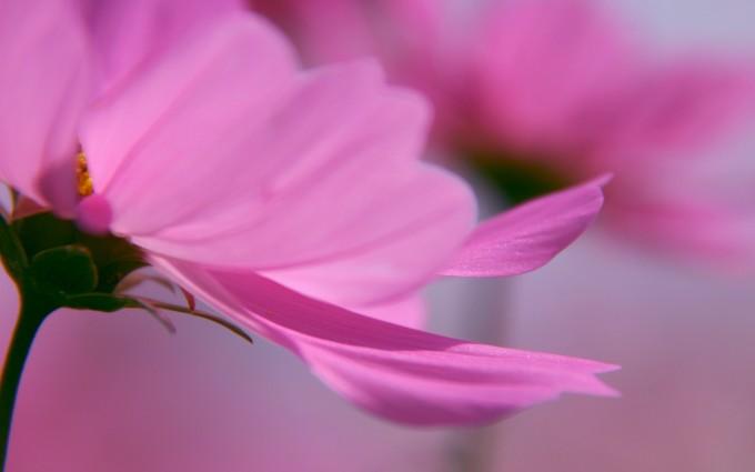 pink hd petals