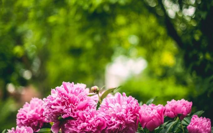 pink peonies hd