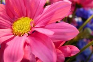 pink petals photo