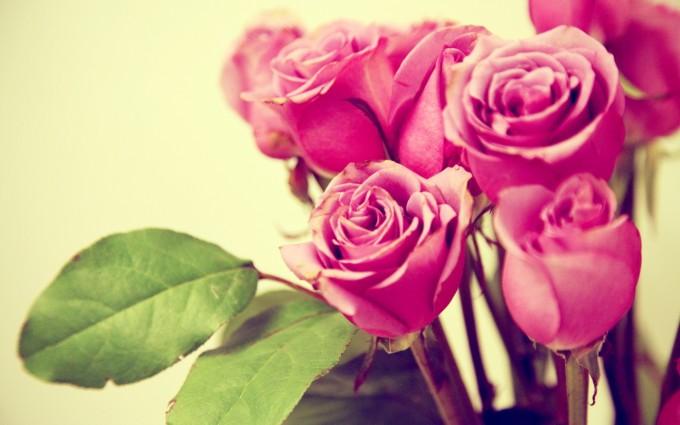 pink roses cute