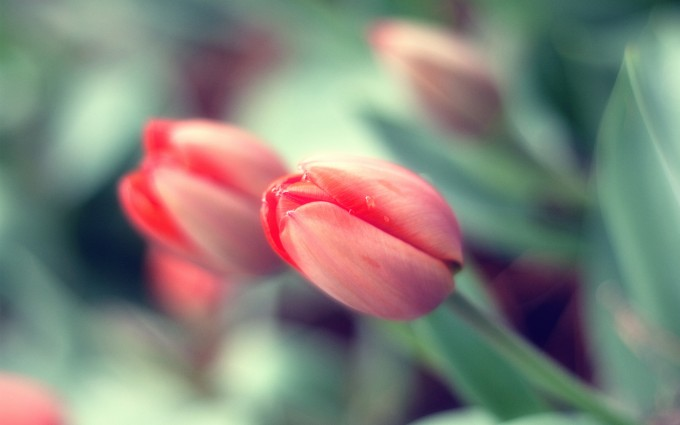 pink tulip buds pictures download