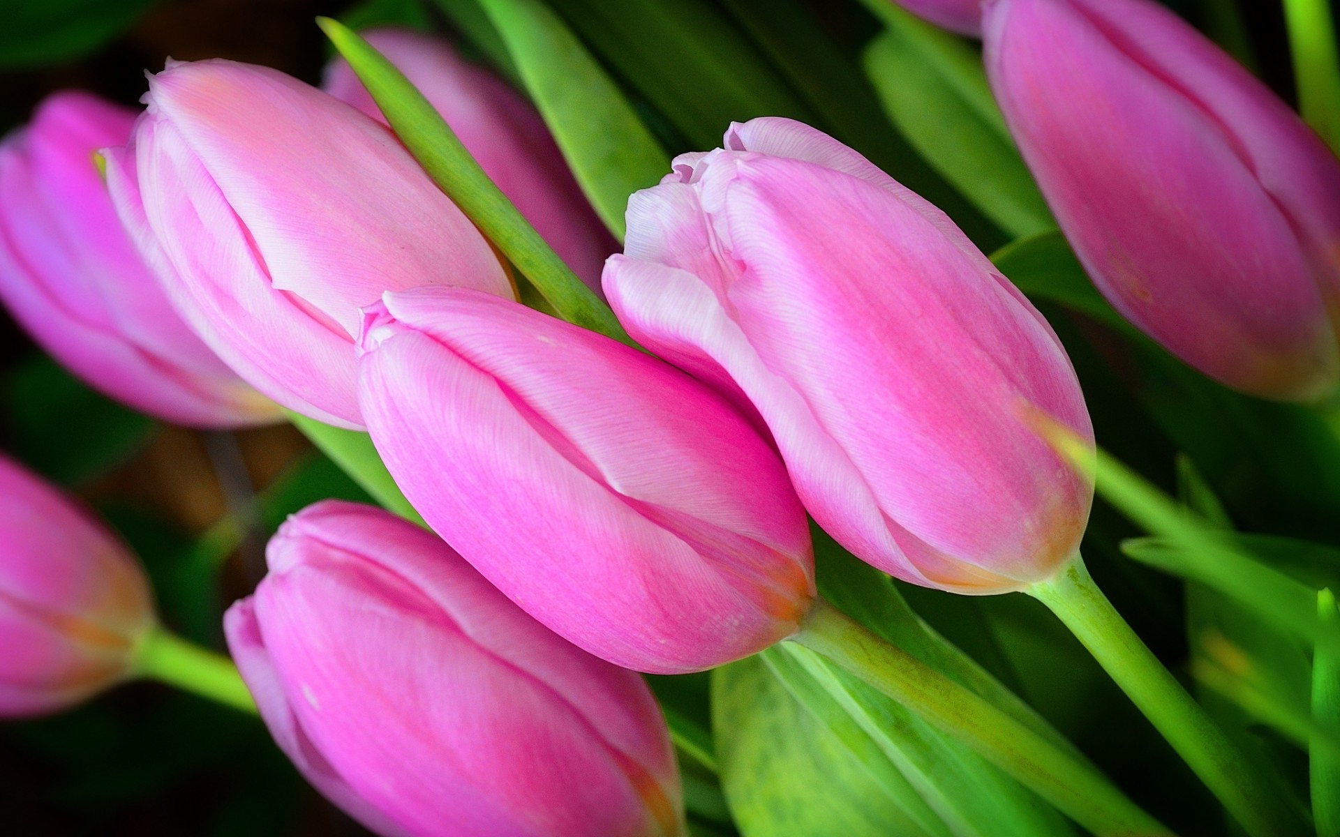 Pink tulip flowers hd desktop wallpapers 4k hd - Flowers native to greece a sea of color ...
