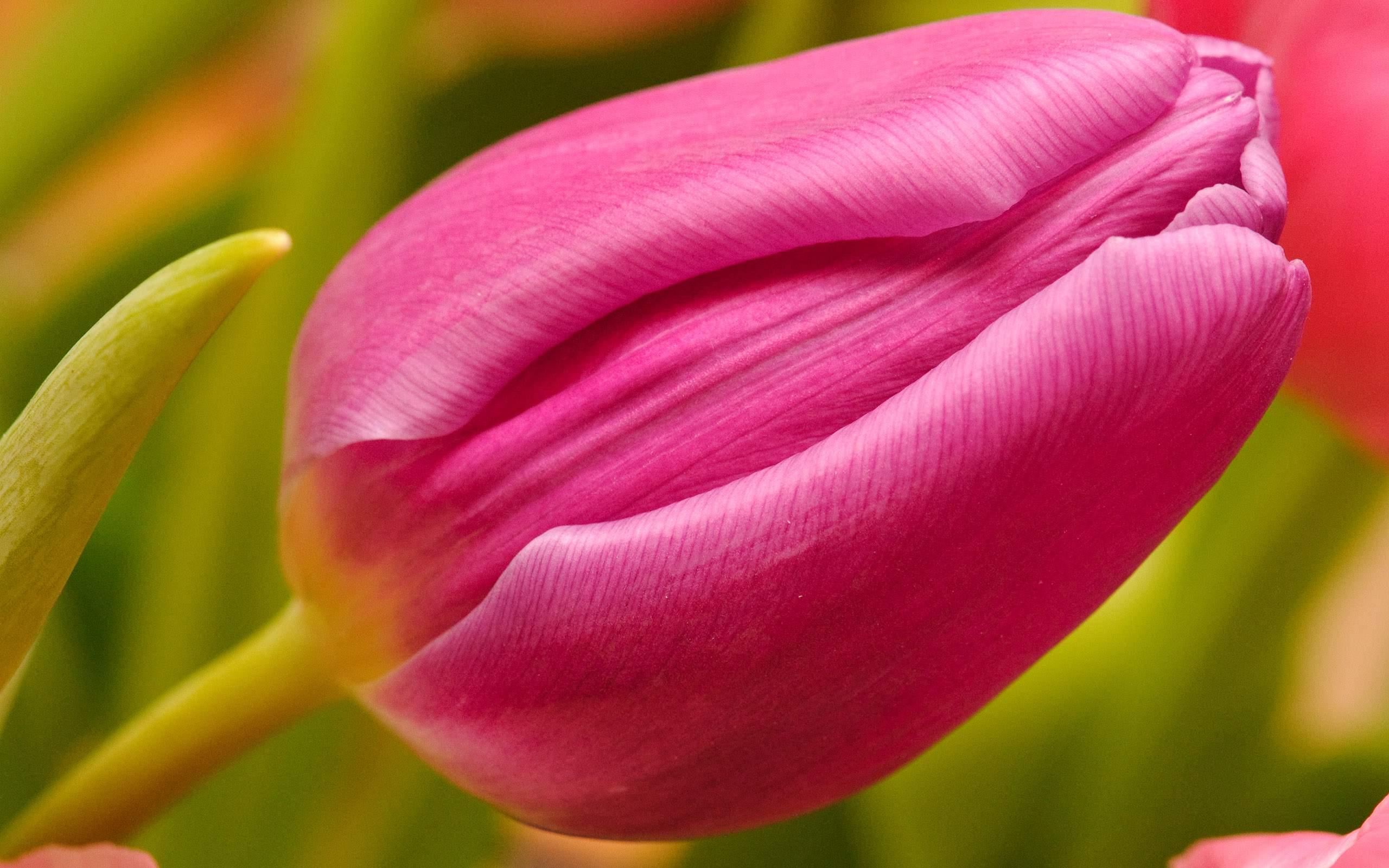 pink tulip wallpaper  HD Desktop Wallpapers  4k HD