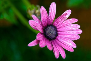 pink wet dew drops