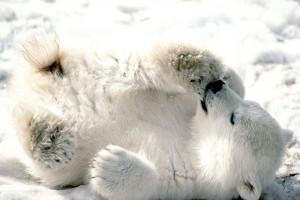polar bear baby cub cute