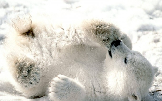polar bear baby cub cute