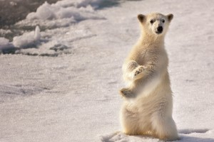 polar bear baby wallpaper