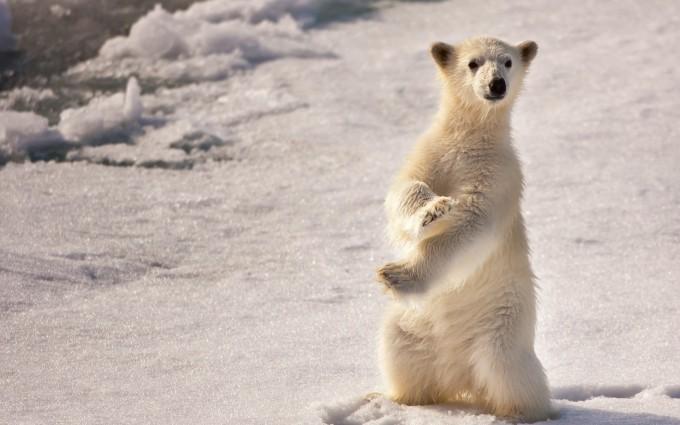 polar bear baby wallpaper