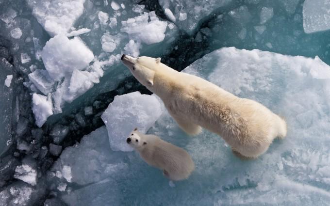 polar bear desktop hd background