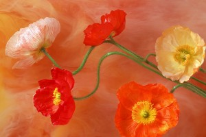 poppies paint