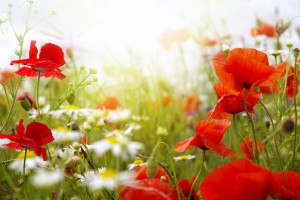 poppies summer wallpaper