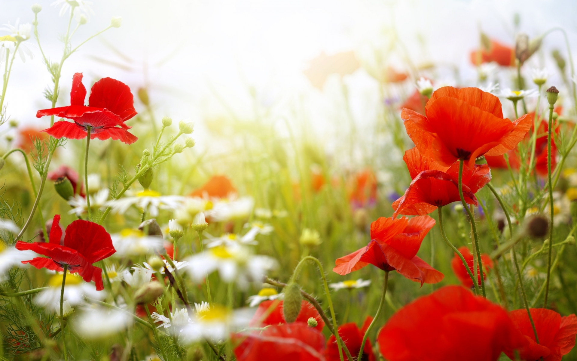 poppies summer wallpaper