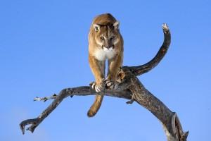 puma branch hd