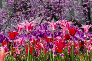 purple pink tulips