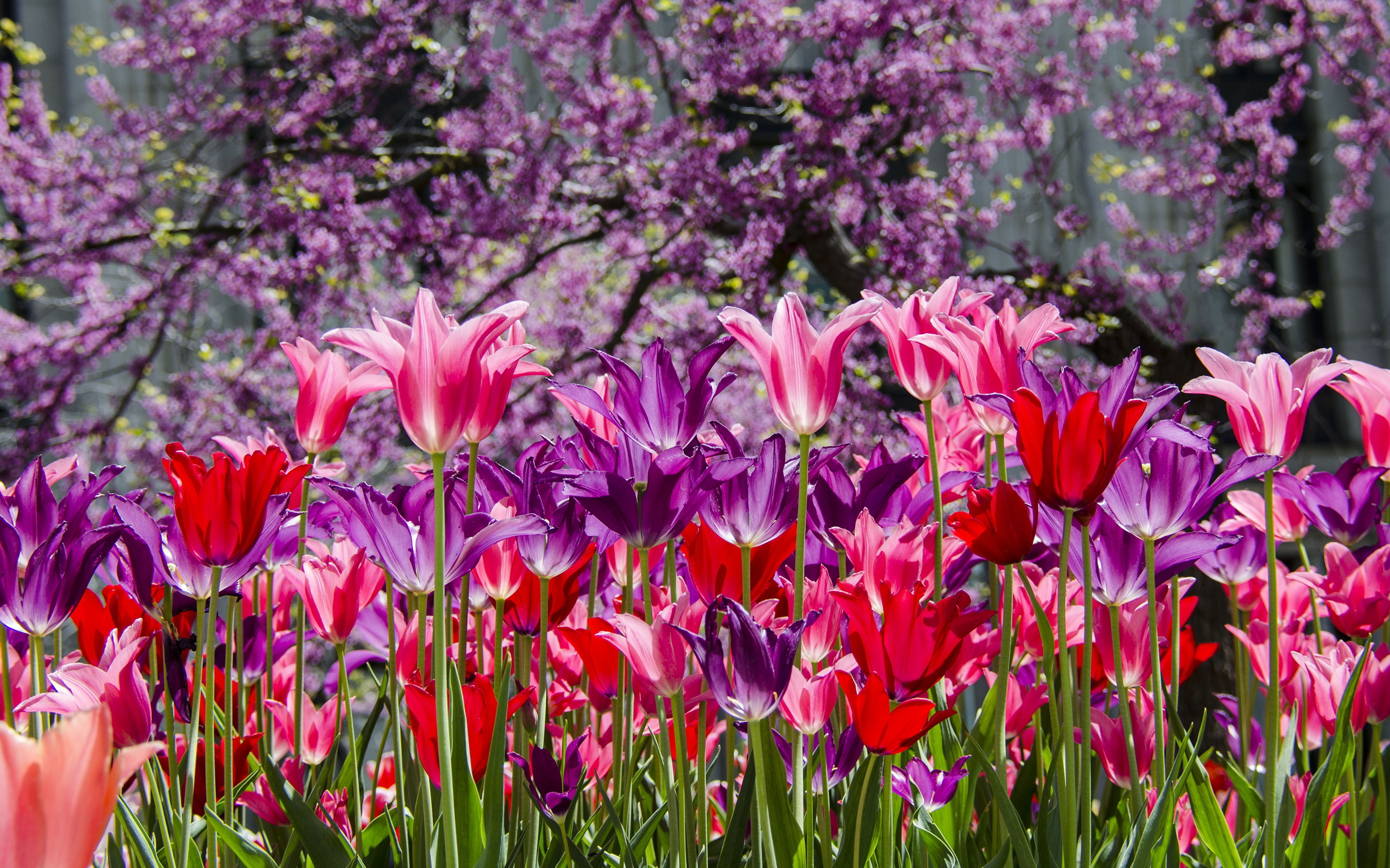 purple tulips hd wallpaper - photo #25