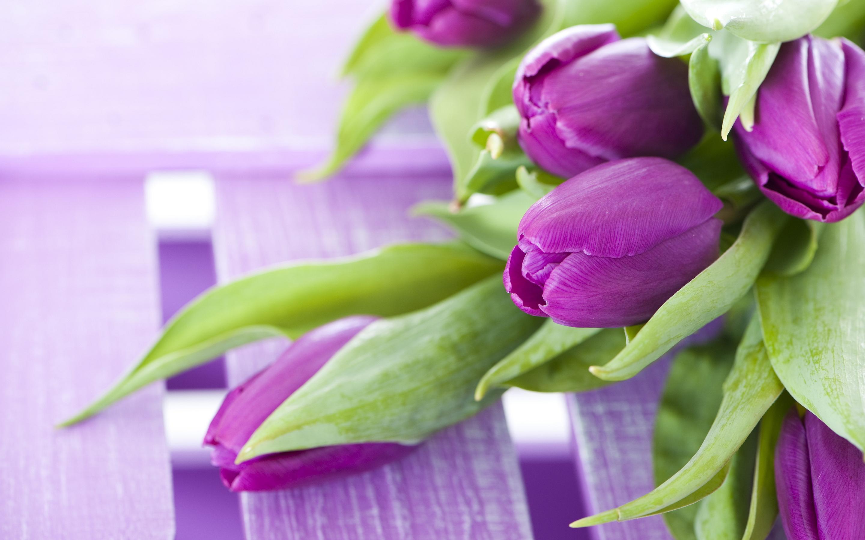 purple tulip flower wallpaper