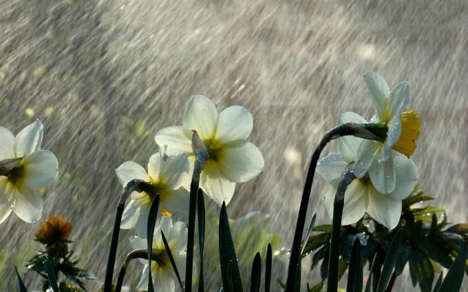 rainfall flowers wallpaper