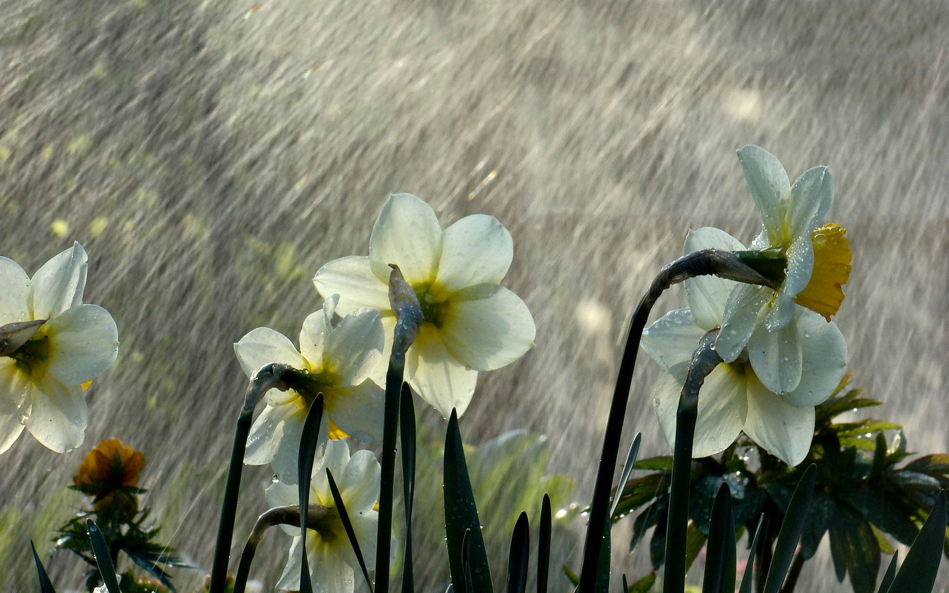 rainfall flowers wallpaper