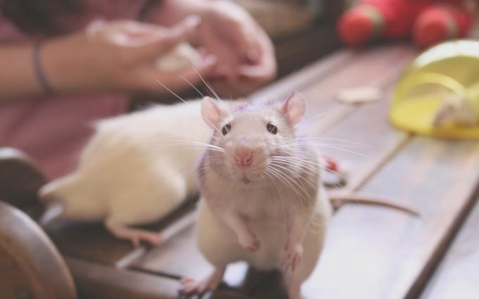 rat cute wallpaper