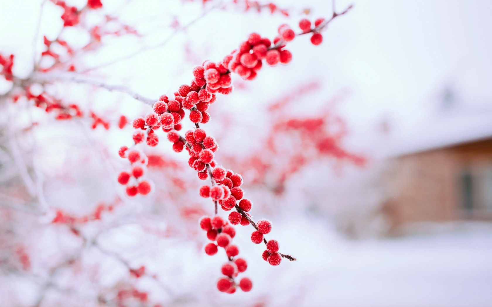 red berries wallpaper