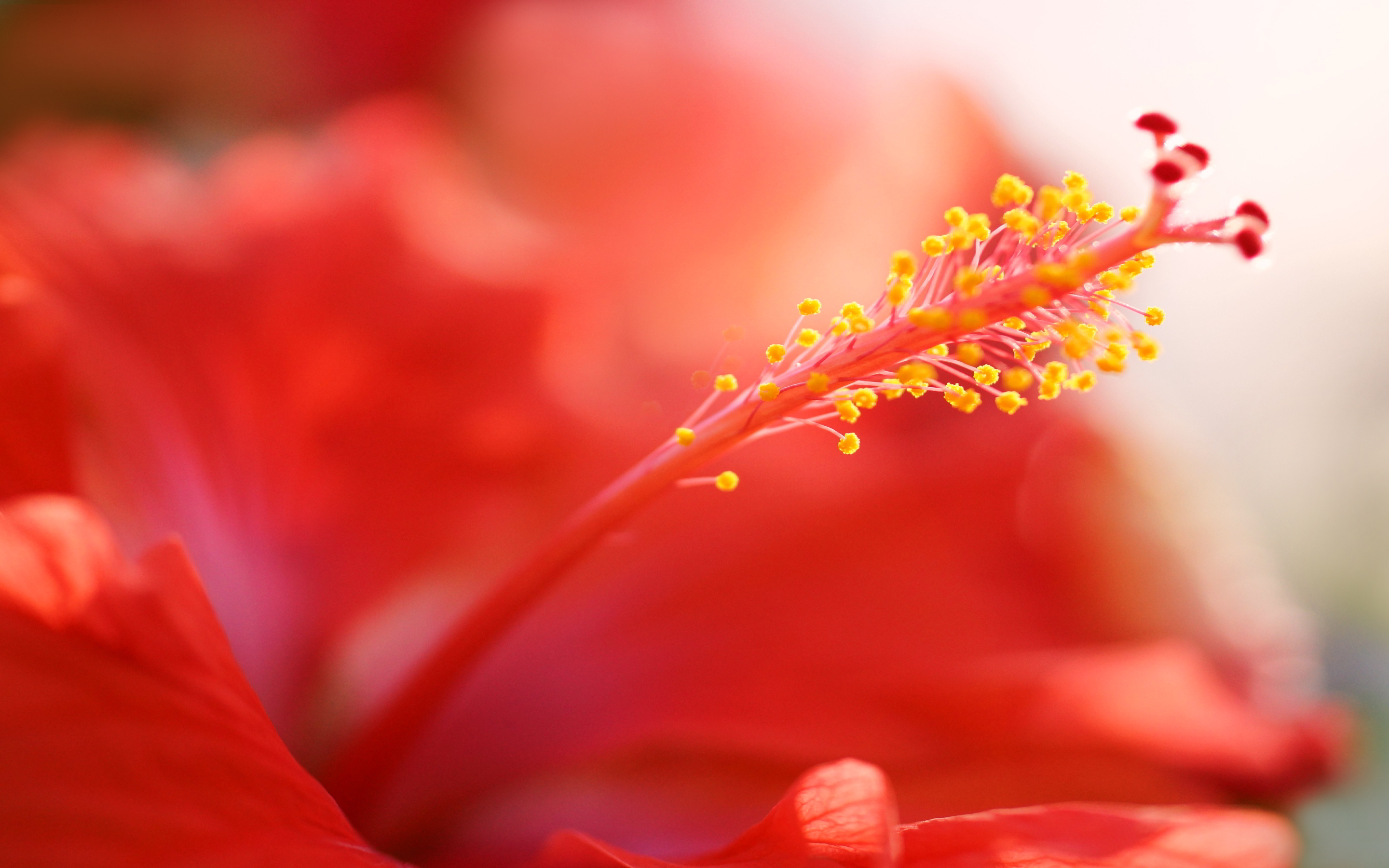 red hibiscus hd