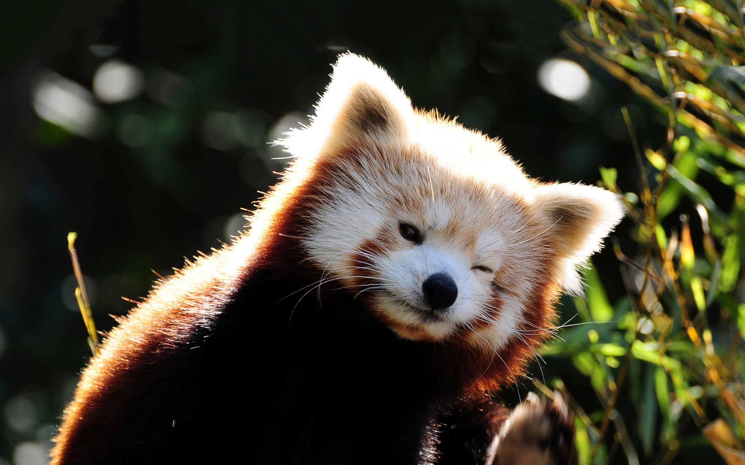 red panda wink cute