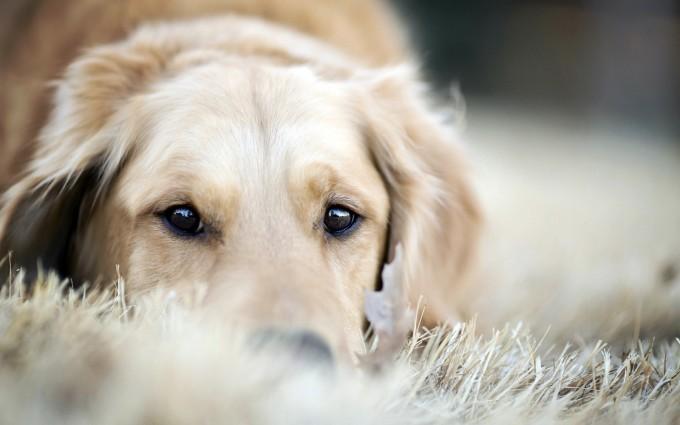 retriever dog sleepy