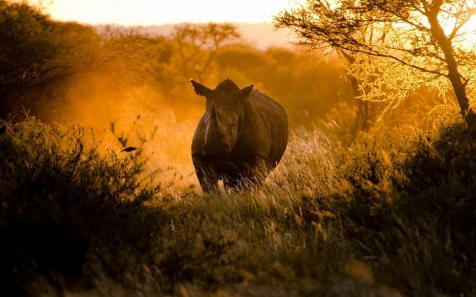 rhinoceros wallpaper wild