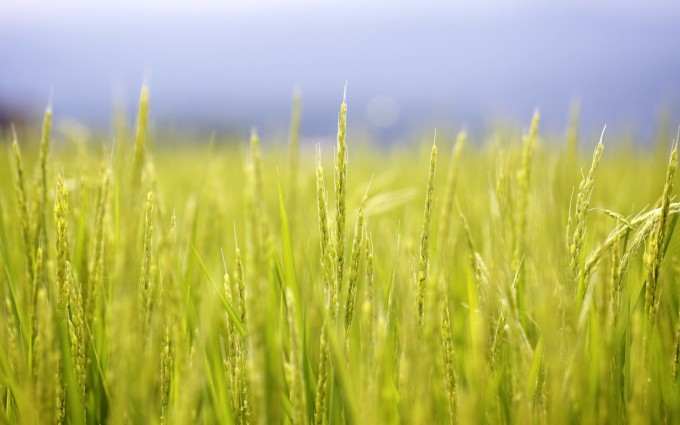 rice plants wallpaper