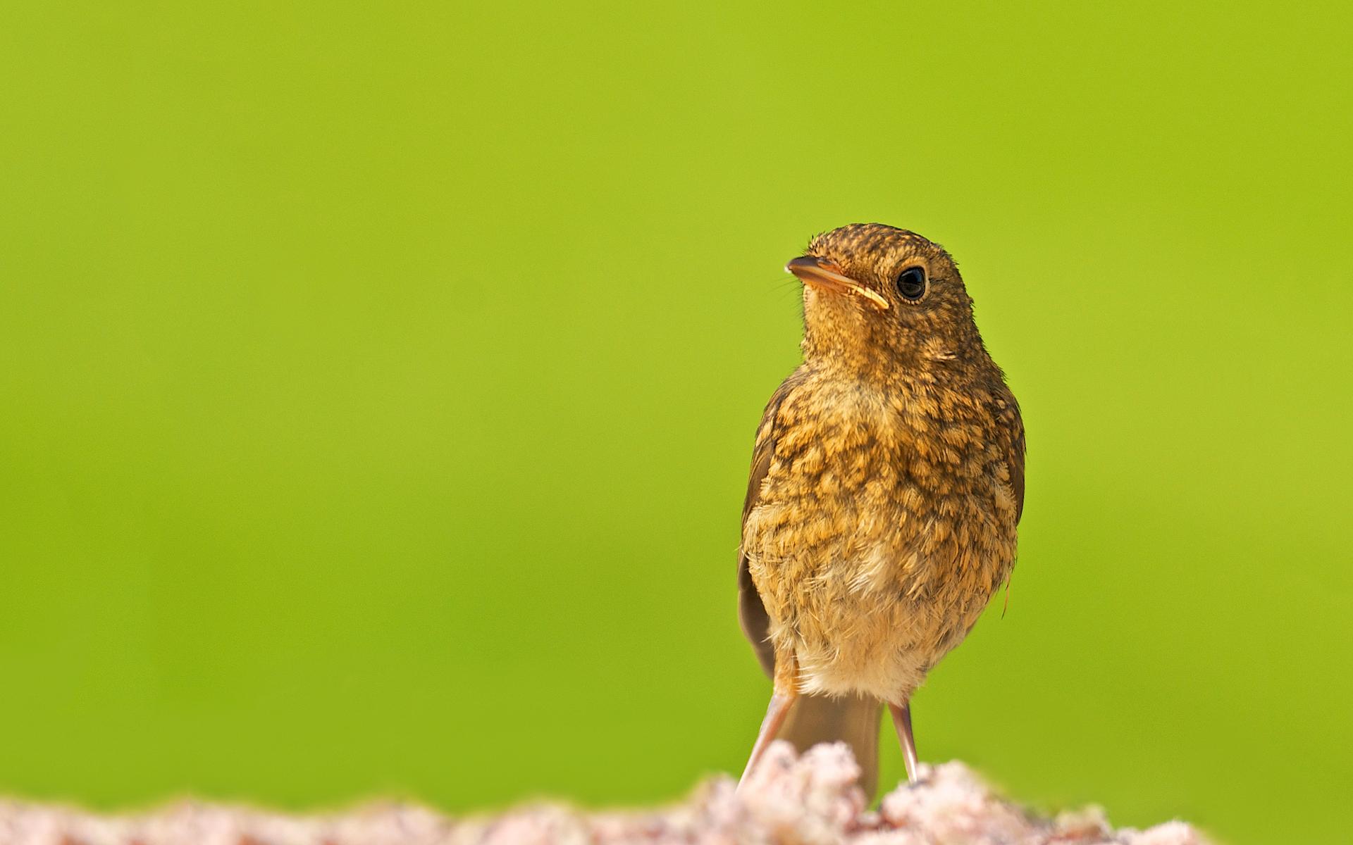 robin bird images