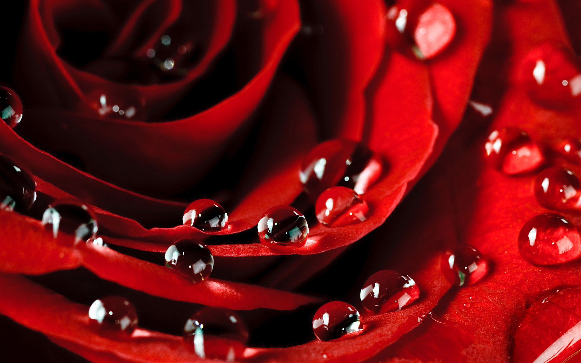 rose dew drops love