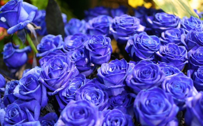 roses blue wallpaper
