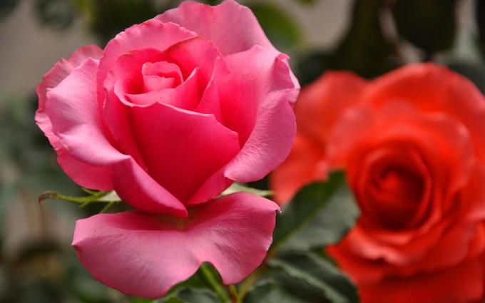 roses nature