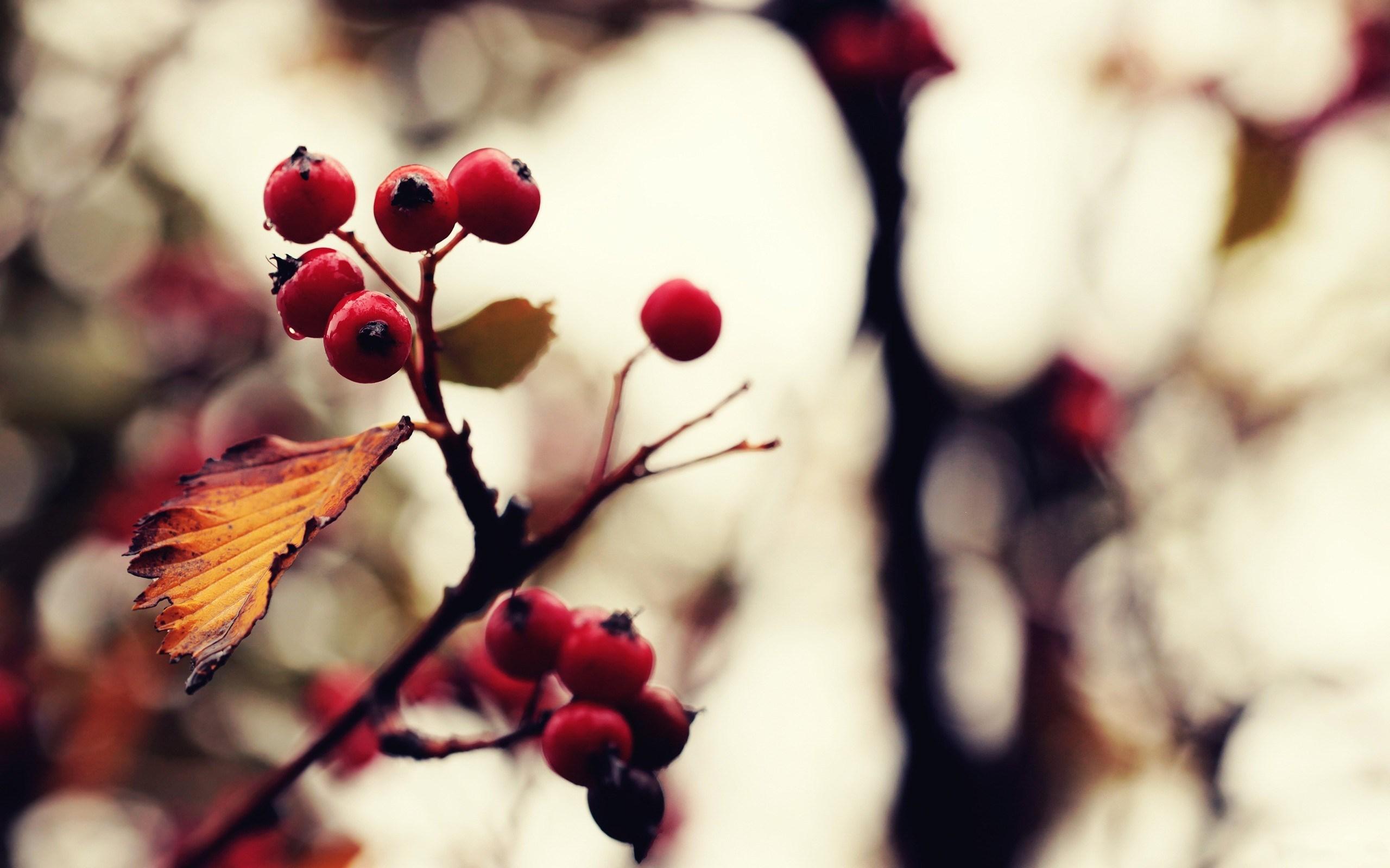 rowan tree pictures